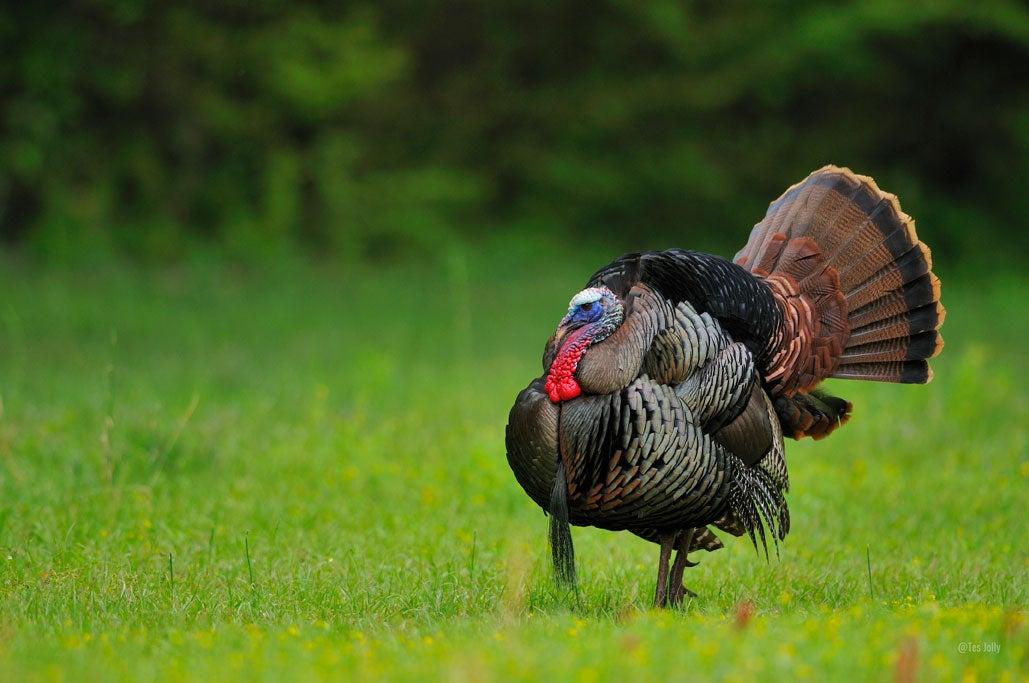 Ohio turkeys are in decline.