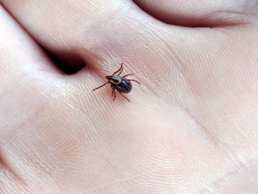 An American dog tick can carry diseases to hunters.