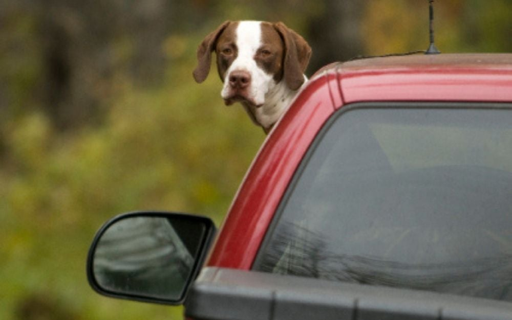 A brown dog with white stamps that stands with half its body outside the window of a red car.