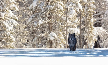 Interior Department Suggests Wolves May Need Federal Protection