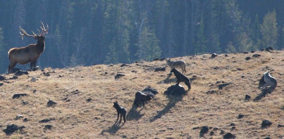 wolves chase elk
