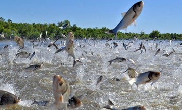 Commercial Fishermen Remove 10M Pounds of Asian Carp from Kentucky and Barkley Lakes