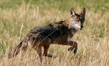 Canada Coyote Attacks May Be Caused By Illegal Drugs