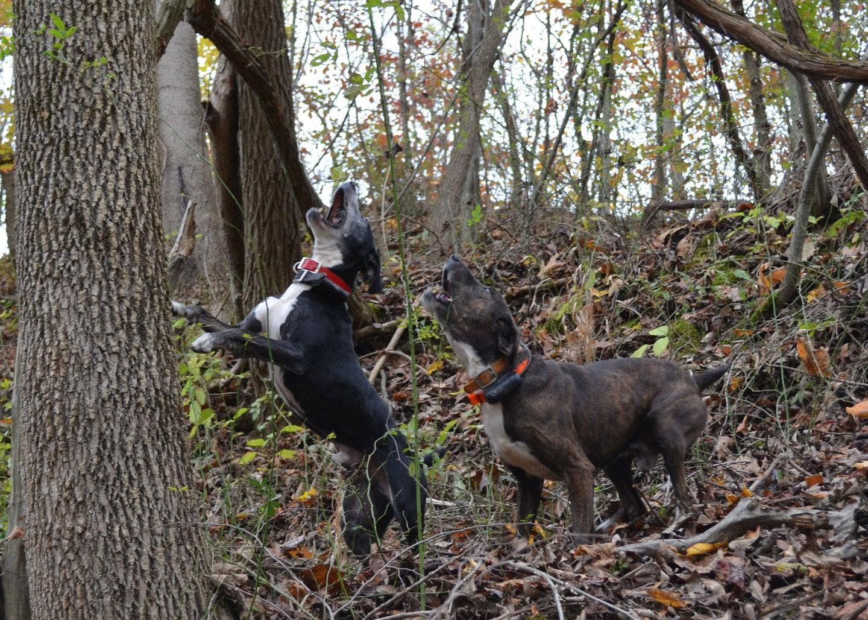 Find a legit squirrel dog breeder.