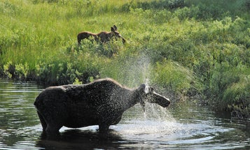 Cow Moose Attacks, Seriously Injures Elderly Woman