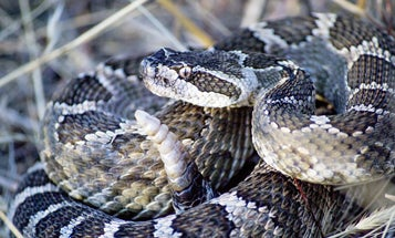 How Buzzing Rattlesnakes Fool Human Hearing