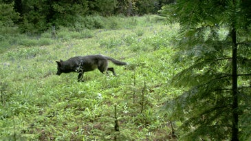 An Oregon wolf captured on trail camera.