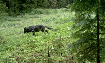 Oregon Issues First Wolf Depredation Permits Since 2018