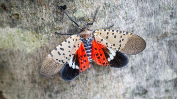 The spotted lanterfly is bad news for agriculture and wildlife.