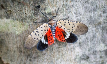 The Invasive Spotted Lanternfly Is Spreading. Here's How You Can Help