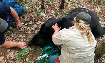 New Research Shows Black Bears Are Pretty Darn Smart