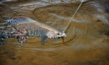 Michigan Will Attempt to Return Arctic Grayling to State Waters
