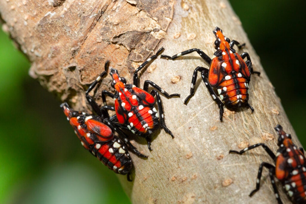 Spotted lanternfly nymphs can be identified by their bright red bodies.