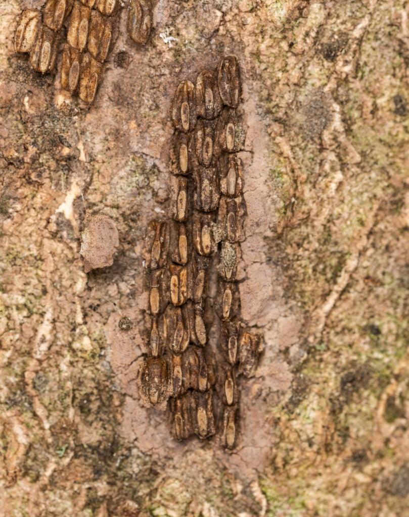 Spotted lanternfly egg mass.