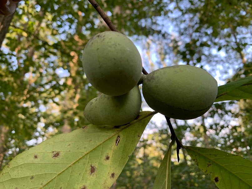 The fruits of a paw paw tree.