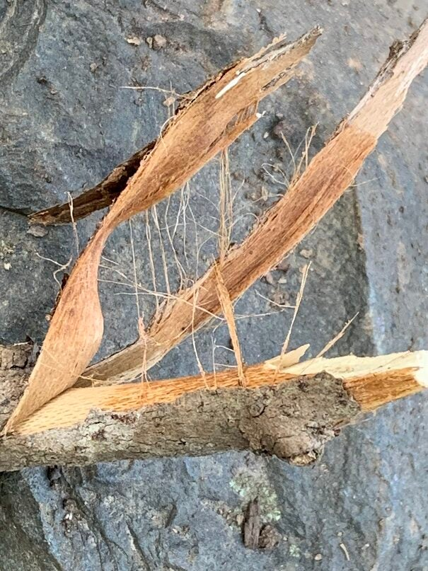 After the bark dries, use it for tinder.