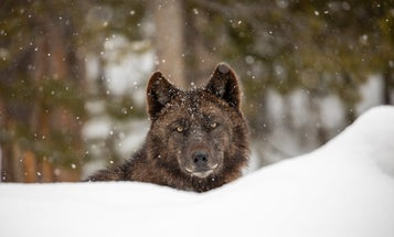 Feds Back Away From Relisting Wolves. Montana Approves Baiting and Night Hunting