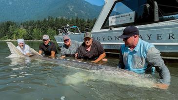 White sturgeon caught in British Columbia.