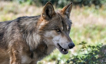 Washington Green Lights the Lethal Take of Two Wolves in Response to Calf Attacks