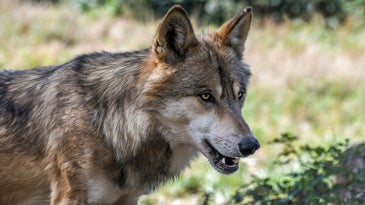 Two wolves will be killed by WDFW.