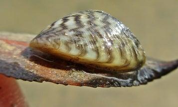 Zebra Mussels Found in Iconic Rainy Lake Fishery