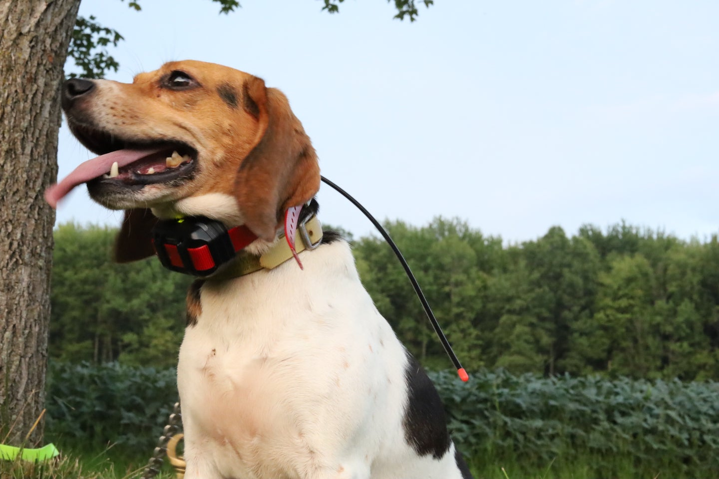 A brown and white dog wearing a tracking collar