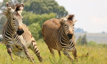 Five Zebras Are Running Loose in Maryland