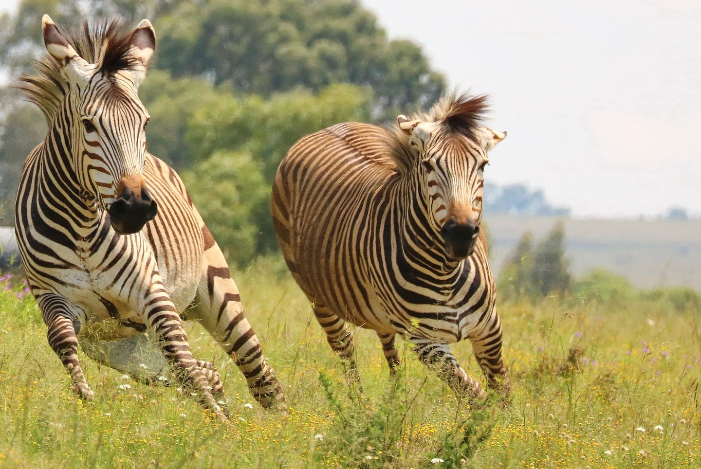 Maryland zebras are on the loose.