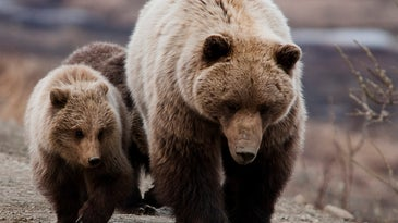 Alaskan hunter mauled by a grizzly is in stable condition.