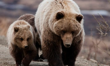 An Alaskan Hunter Mauled by a Grizzly Sow Uses His GPS to Call for Help