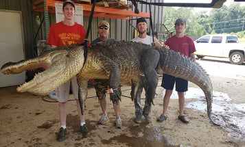 Mississippi Processor Finds 8,000-Year-Old Relics in the Belly of a 750-Pound Gator