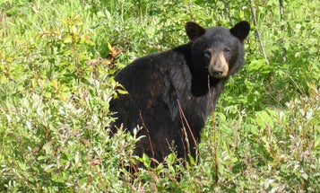 New Jersey Fish and Game Approves Emergency Black Bear Hunt. Will the Governor?