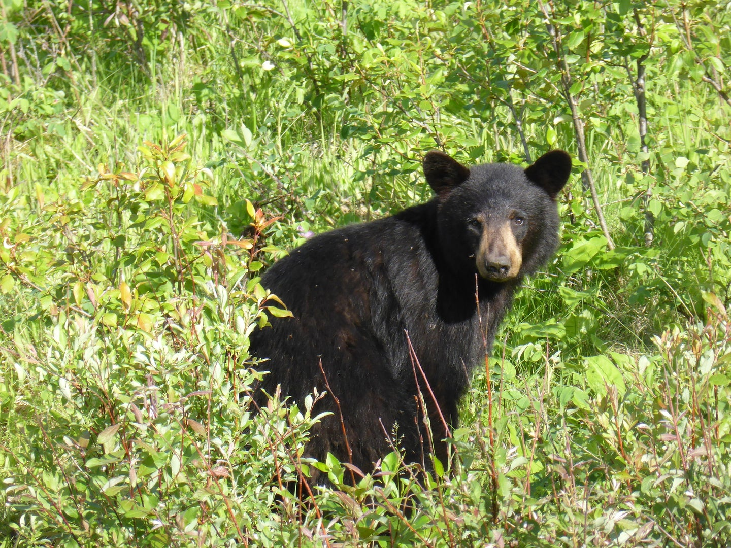 An emergency New Jersey black bear hunt needs approval by the state governor.