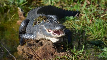 Alligator that attacked Louisiana man during Hurricane Ida is located.