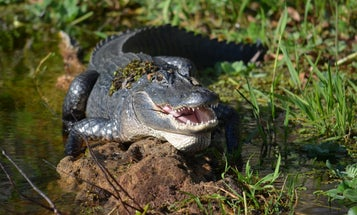 Human Remains Found in the 12-Foot Gator Suspected of Killing Louisiana Man