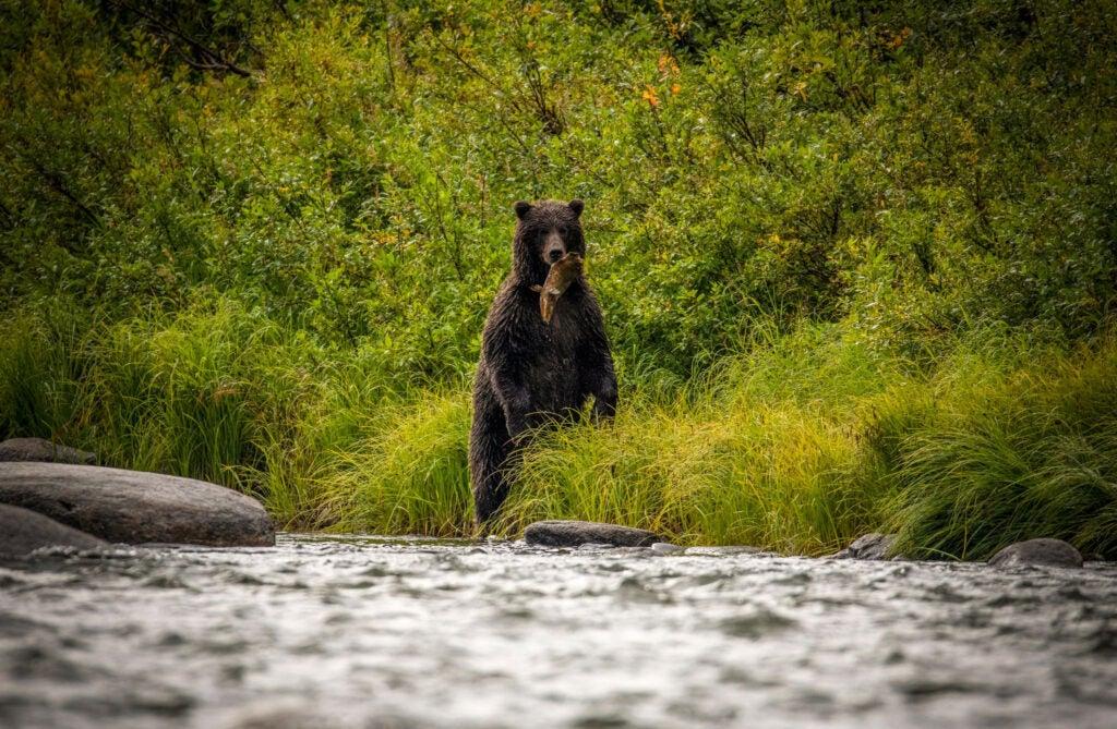 A female brown bear eats a rotting salmon.