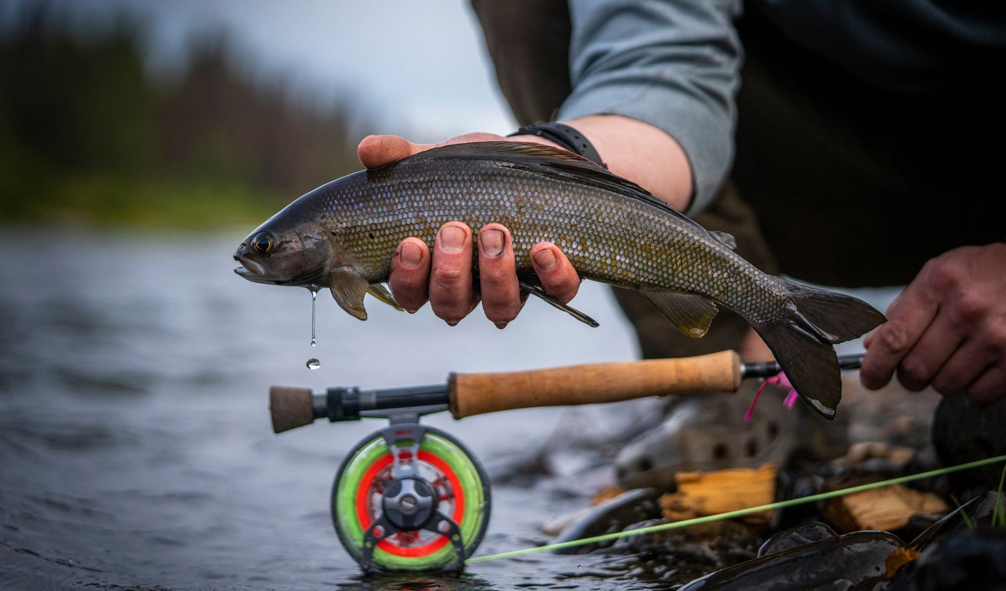 Grayling caught from the eddies of Lake Creek river in Alaska.