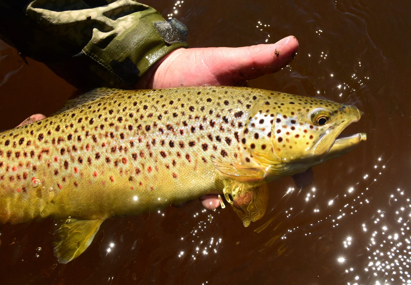 Brown trout caught in a Western stream.