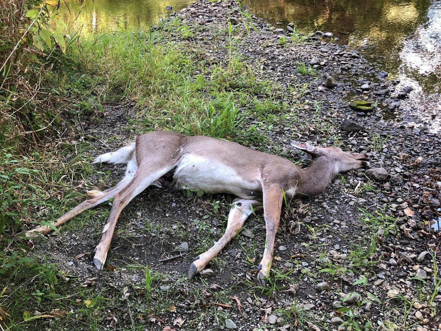 A whitetail that died near water due to an EHD outbreak.
