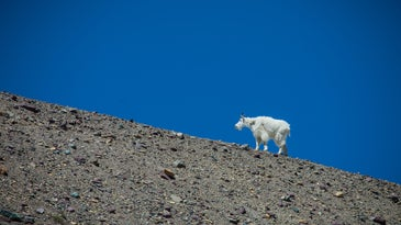 It's rare to hear of a mountain goat killing a grizzly in defense, but it does happen.