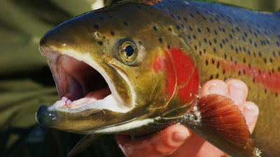 Trout Unlimited Calls on Biden Administration to Save Snake River Salmon and Steelhead