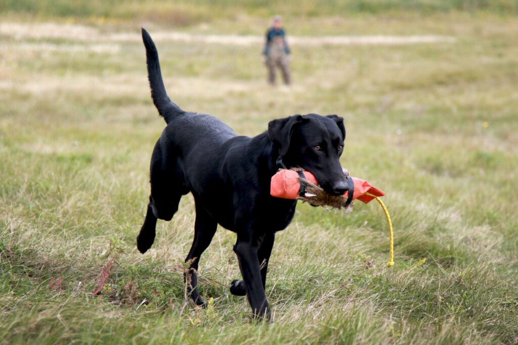 A trained retriever is instrumental in reducing waterfowl crippling rates.