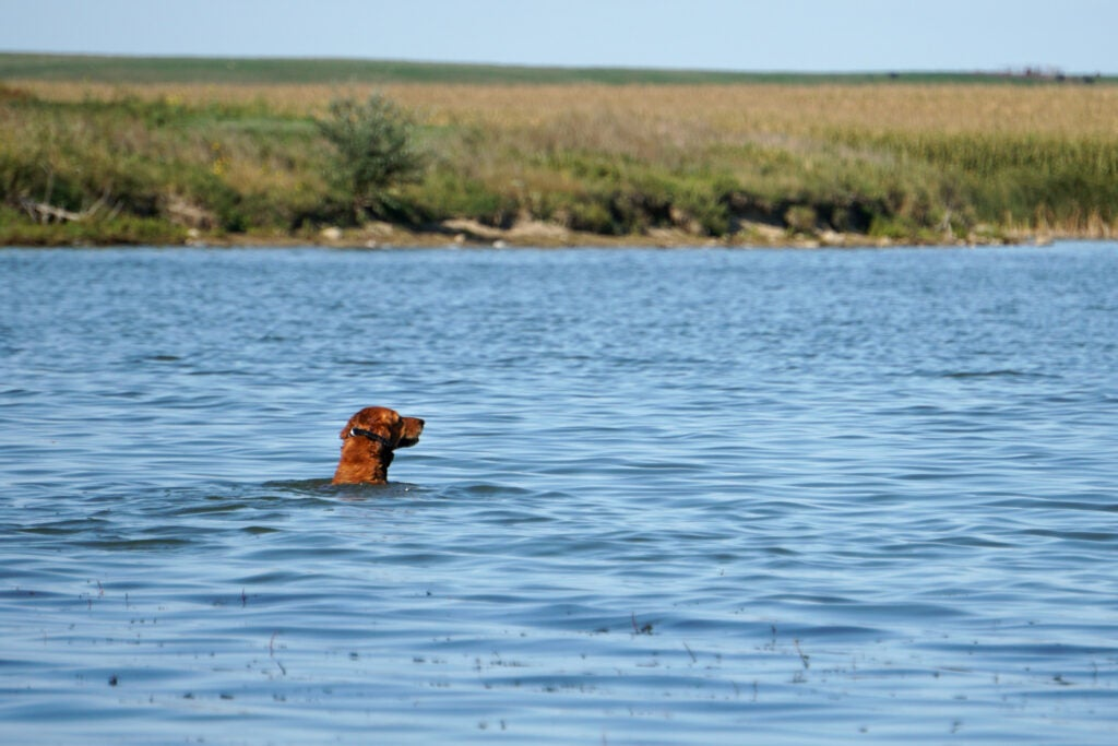 A good retriever helps reduce waterfowl crippling rates.