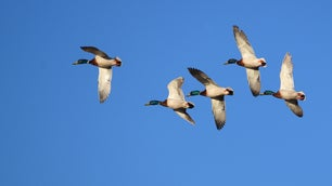 USFWS studies show the duck crippling rate is one in five birds.