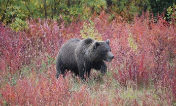 Two Bowhunters Deploy Bear Spray, Shoot Charging Grizzly Sow in Idaho