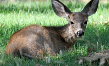 Officials Estimate Hundreds of Blacktail Deer Have Died from Fast-Spreading Disease