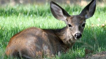Adenovirus hemorrhagic disease is killing blacktail deer on B.C. islands.