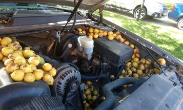 A Fox Squirrel Stored Hundreds of Walnuts Under the Hood of a Chevy…Again