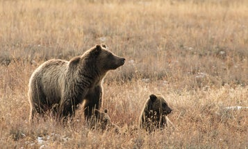 Wyoming Hunter Mauled by Mother Grizzly, His Hunting Partners Shot the Bear Off of Him