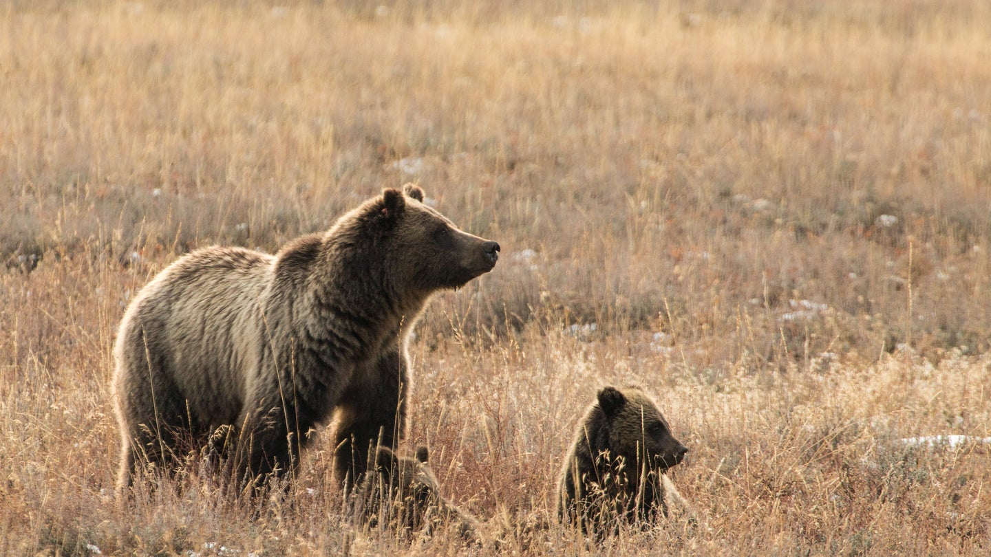 a mother grizzly with cubs